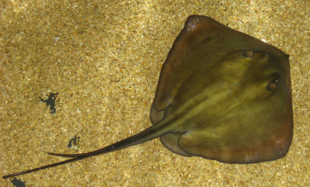 Класс: Хрящевые рыбы - Chondrichthyes...