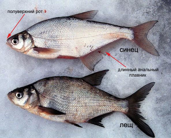 http://fish.kiev.ua/images/sulkavajalahna.jpg